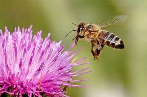 Honeybee605