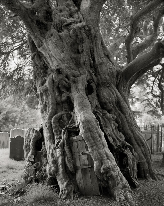 Crowhurst-Yew-copy-768x967