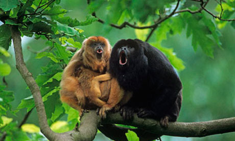 Black-howler-monkey-with--006